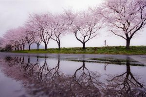 cherry blossoms from pinterest photo by Kouji Tomisha 300x199 - 5 Tips for Taking Photos in the Rain